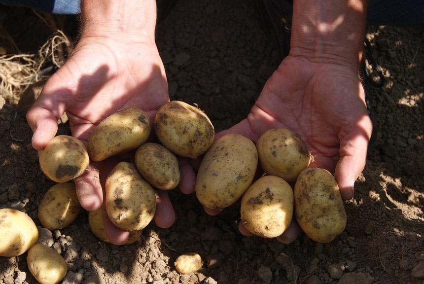 Goed toepassen van HIMALAYA in aardappelen belangrijk voor resultaat
