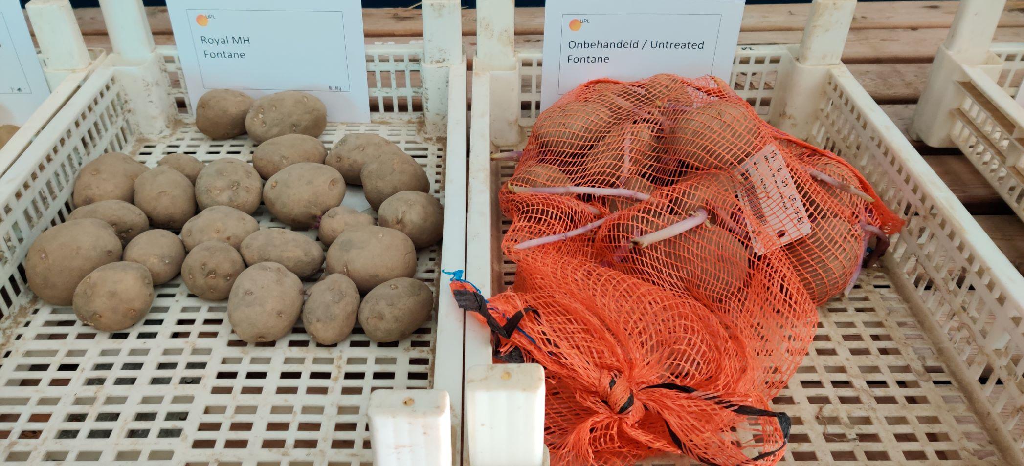 Effect HIMALAYA op kiemremming en gewichtsverlies in aardappelen onderzocht