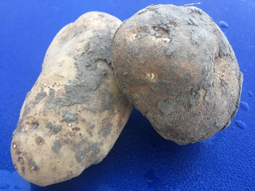 Op tijd starten met kiemremmer ARGOS in aardappelen